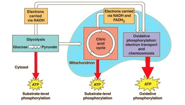 Cells: How Does Cellular Respiration Work?